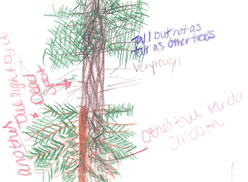 sketch: conifer