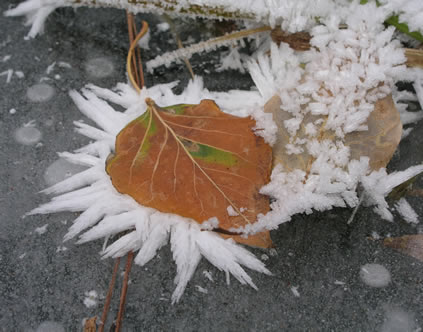 leaf in frost