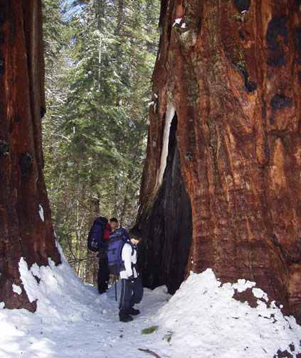 ly and shong with sequoias