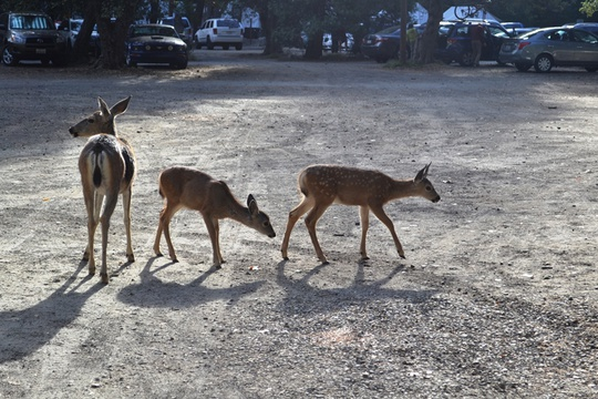 Group Deer