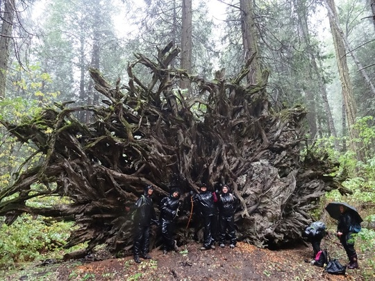 Group Sequoia Roots